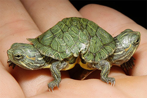 Two-headed-turtlex-large[1]