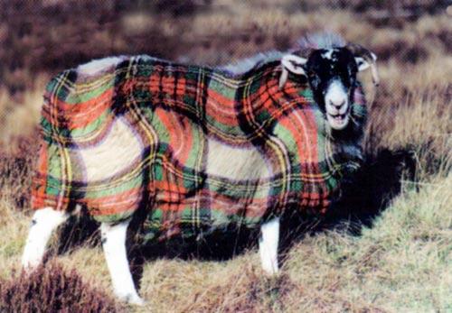 Tartan_sheep[2]