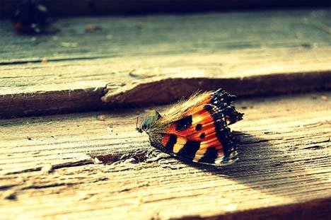 Dead-butterfly[1]