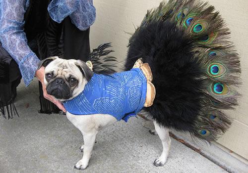 Halloween-dog-peacock