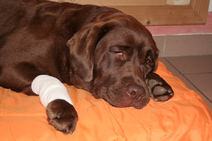 Labrador_with_bandaged_paw[1]