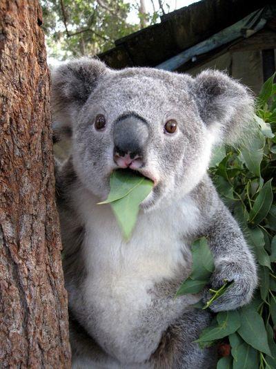 Koala-bear-is-astonished_www_61p_net[1]