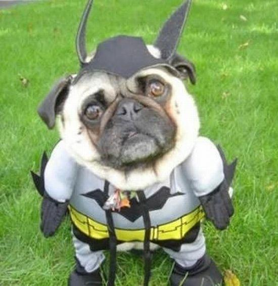 A%20Pug%20In%20A%20Batman%20Costume[1]
