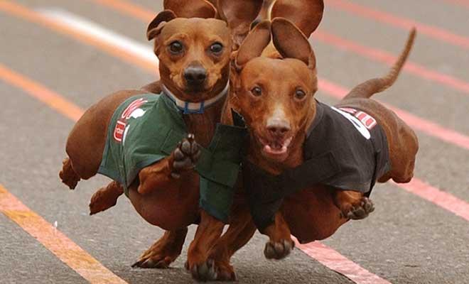 WienerDog-races-octoberfest[1]