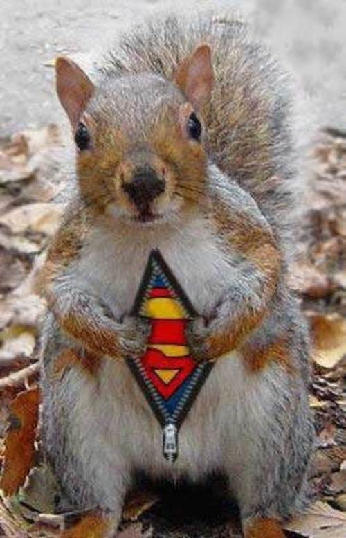 Cute-superman-squirrel-large-msg-1122473584-2[1]
